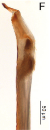 Forsteropsalis photophaga T+P-2014-F