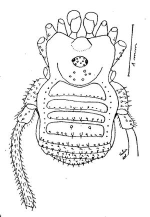 Paratricommatus veneficus HS-1966e