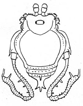 Glysterus costaricensis Roewer-1943