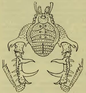 Megapachylus grandis Roewer, 1913