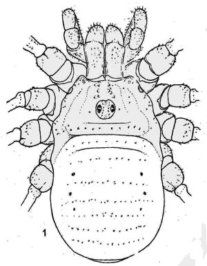 Opilio afghanum from Silhavy (1966) Opilioniden-Fauna Afghanistans