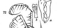 Opelytus rugichelis