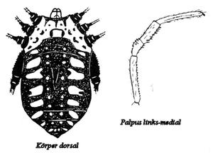 Eugagrella argentata