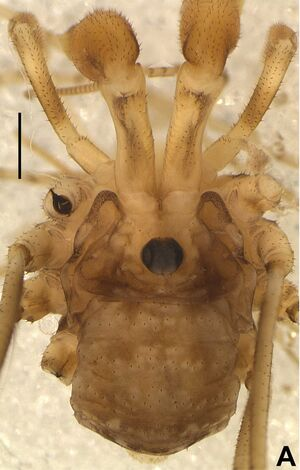 Trasychiroides toryba