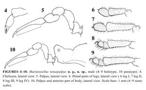 Martensiellus tenuipalpus Schweninger-2006-6