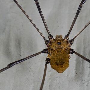 Hadrobunus grandis flickr Craigulator