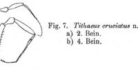 Tithaeus cruciatus