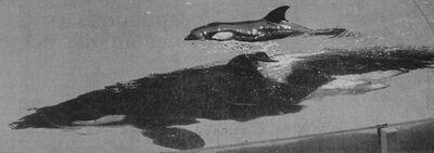 Nootka 5's calf 1998-news