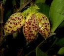 Zootrophion endresianum