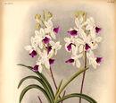 Holcoglossum