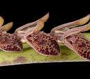 Acianthera pubescens