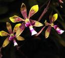 Encyclia mooreana