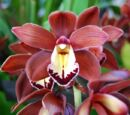 Cymbidium Volcanic Flash