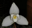 Lycaste Abou First Spring