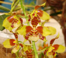 Rossioglossum schlieperianum