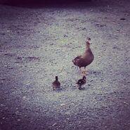 November 13 – Instagram Antonia Ducks