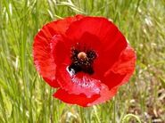 Poppy-red-corn std-300x224