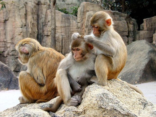 File:Rhesus Macaques 4528.jpg