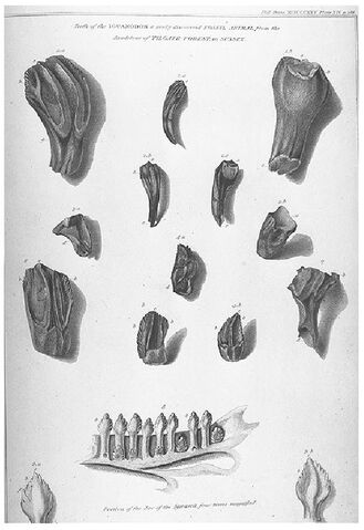 File:Mantell iguanadon teeth.jpg
