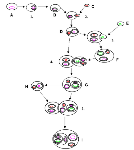 File:Endosymbiosis.PNG