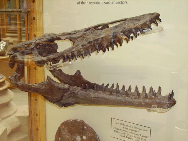 File:Mosasaur skull.JPG
