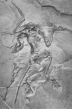 File:SArchaeopteryxBerlin2.jpg
