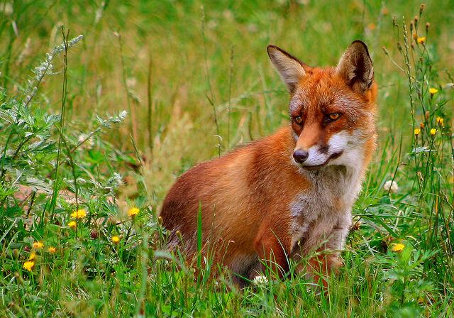 File:Rød ræv (Vulpes vulpes).jpg