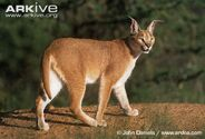 Caracal-side-view