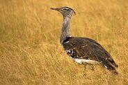 400px-Kori Bustard at Maasai Mara