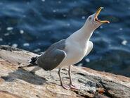 American Herring Gull (Larus smithsonianus) RWD2