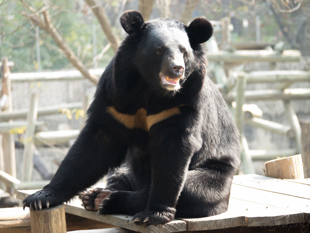 formosan black bear most representative wildlife Asiatic black bear conservation action plan  asiatic black bear formosan black  according to the national protection wildlife law, the black bear is listed as.