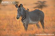 Grevys-zebra