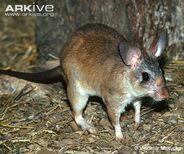 Malagasy-giant-rat-