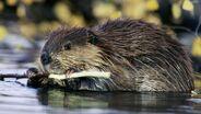 Beaver-Photography