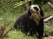Spectacled-Bears