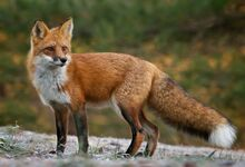 American Red-Fox