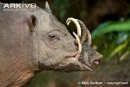 Male-Sulawesi-babirusa-head-detail