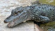 Chinese alligator 0