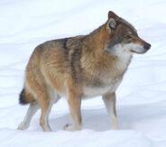 Wolf, voor de natuur, Saxifraga - Jan Nijendijk.5097