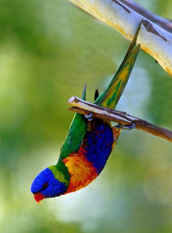 File:Rainbow-Lorikeet.jpg