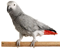 File:African grey parrot.jpg