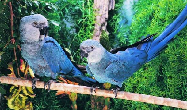 File:Spix Macaw.jpg