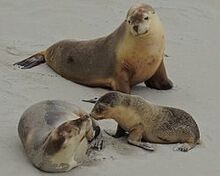 Merpeppa and the Australian sea lion