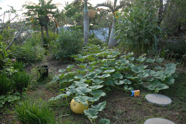 File:Terrace garden with fatty squash.jpg