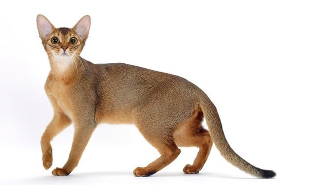 File:Abyssinian kitty.jpg
