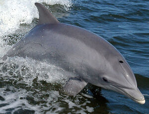 998px-Bottlenose Dolphin KSC04pd0178 (cropped)