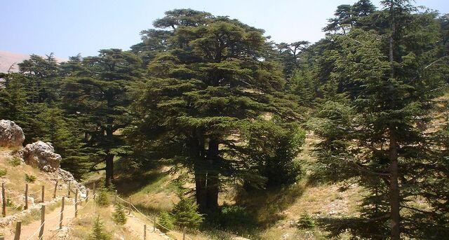 File:1024px-Lebanon cedar forest.jpg