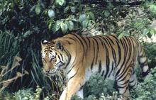 Tigernearkotakambular