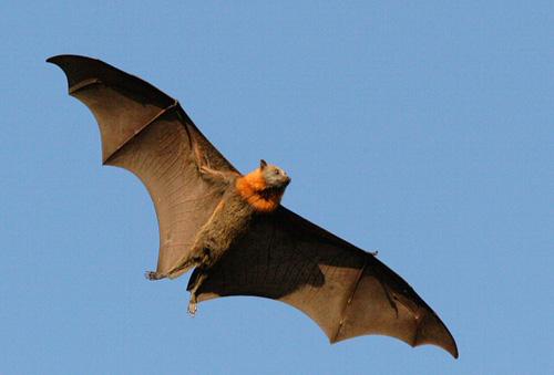 File:Flying Animal.jpg