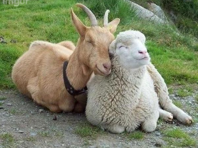 File:Goat and Sheep.png
